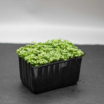 Picture of Mustard Cress (16)