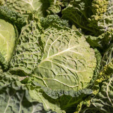 Picture of Savoy Cabbage (8)